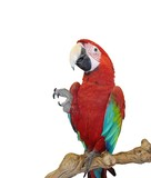 Fototapeta Animals - blue wing red macaw