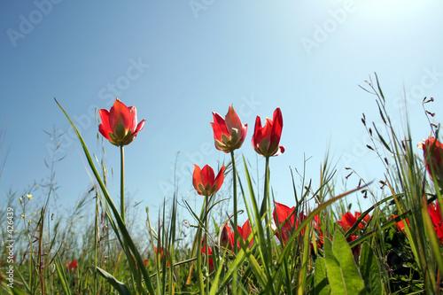 Ingelijste posters Bloemenwinkel tulips with sky