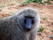Leinwandbild Motiv babouin