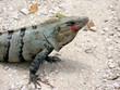 Leinwandbild Motiv iguane