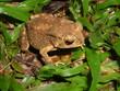 Leinwandbild Motiv grenouille au vert