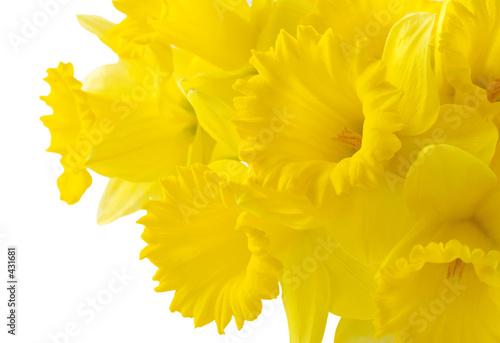 Photo daffodil background