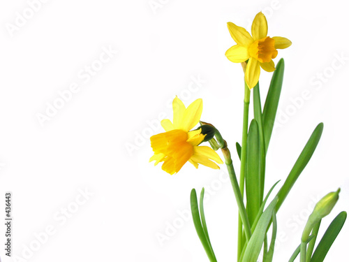 Staande foto Narcis daffodils on white