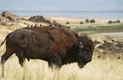 Fotobehang Natuur Park buffalo fleas #1