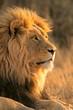 canvas print picture - big male lion