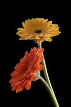 Orange And Yellow Gerbera