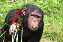 Chimpanzee Holding Out Rose