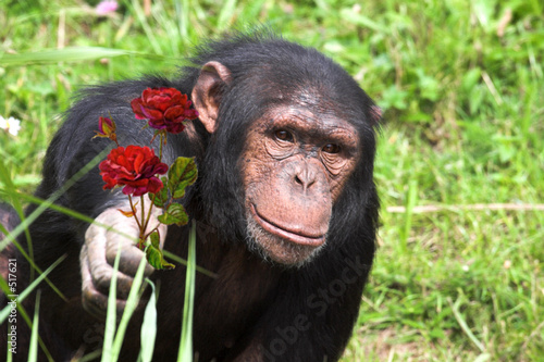 Canvastavla chimpanzee holding out rose