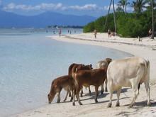 Vache à La Plage
