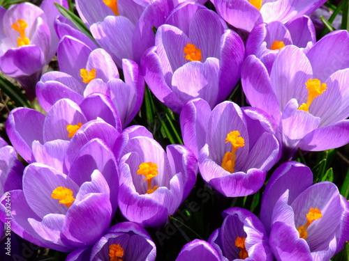 Wall Murals Crocuses blaue krokusse