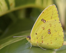 Cloudless Giant Sulphur Butterfly