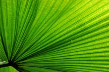 Fan Palm Leaf