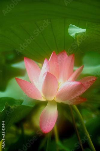 Foto op Aluminium Lotusbloem lotus