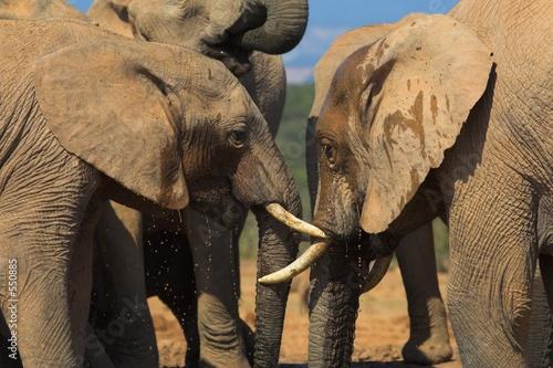 Foto-Schiebevorhang (ohne Schiene) - thirsty elephant (von Chris Fourie)