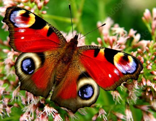 Foto op Plexiglas Vlinder tagpfauenauge