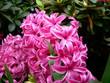canvas print picture - hyazinthenblüten