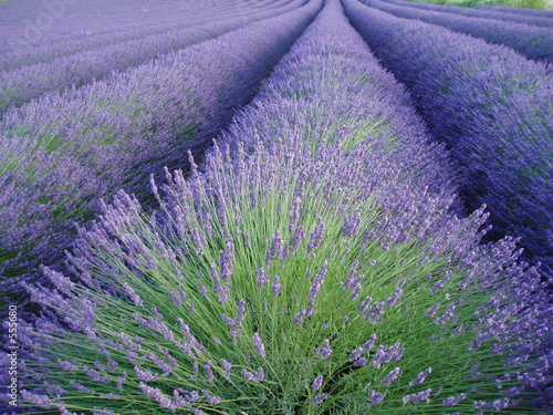Printed kitchen splashbacks Lavender champs de lavande