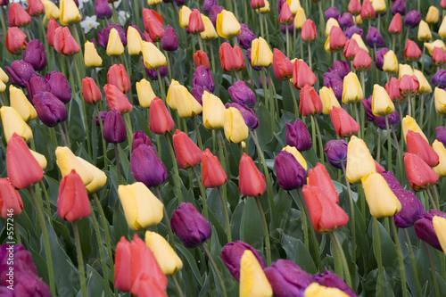 Photo tulip garden
