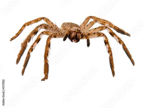 Fotomural huntsman spider