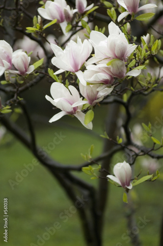 Foto op Plexiglas Magnolia il pleut sur le jardin