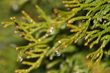Cypress And Rain-drops