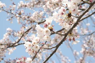 Fototapetacherry blossoms