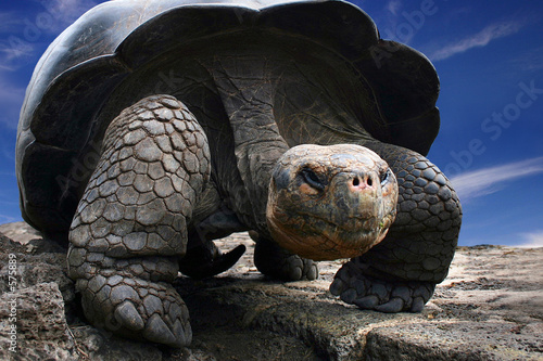 Poster Tortue galapagos turtle