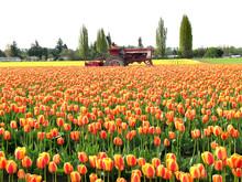 Tulip Field Tractor