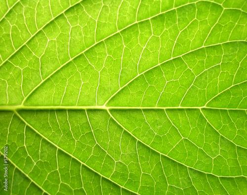 obraz lub plakat leaf