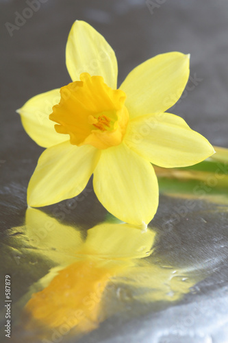 Wall Murals Narcissus narcis on shiny surface