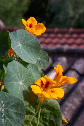 Valokuva  fleur de capucine