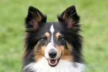 Shetland Shepherd Portrait