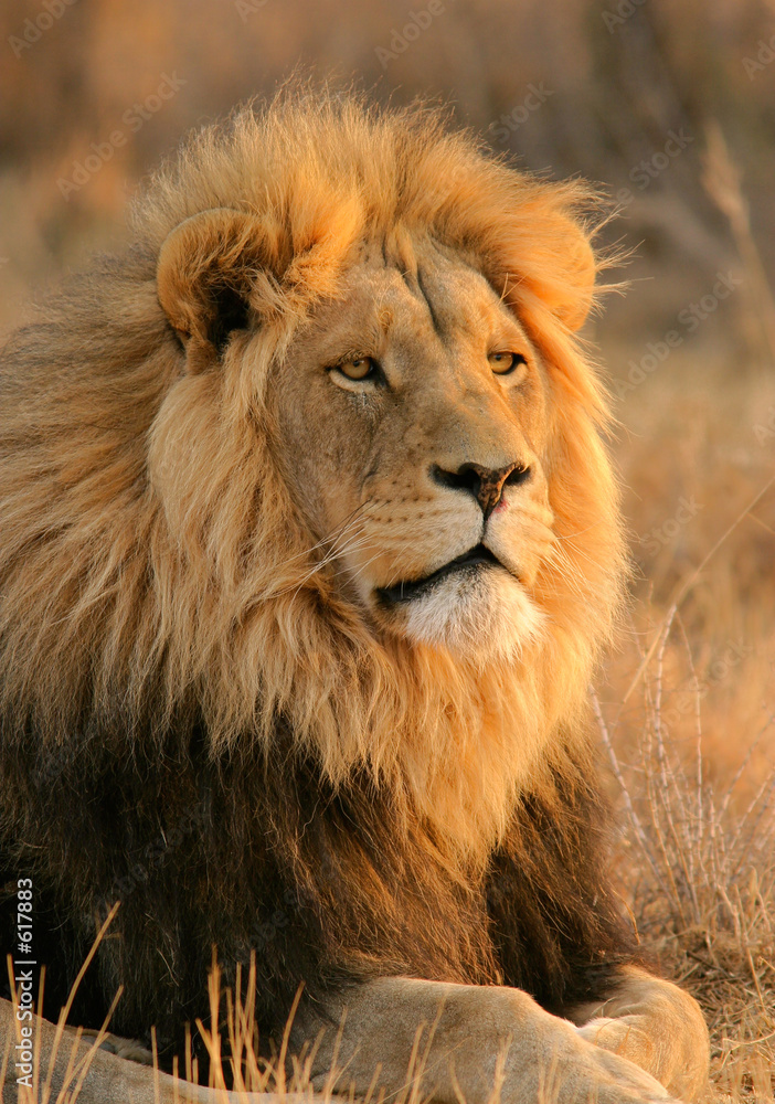 Fototapeta big male lion