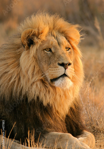 Canvas Print big male lion