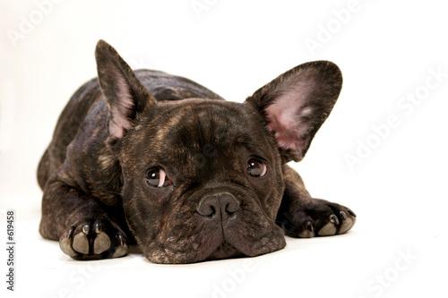 Foto op Plexiglas Franse bulldog regard d'un bouledogue français