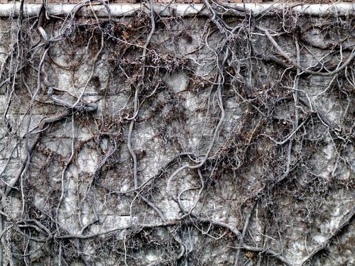 Fotografie, Obraz  dead wall ivy