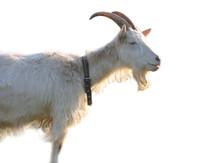 Blanching Nanny Goat