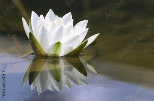 Foto op Canvas Lotusbloem white delicate water lily