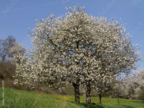 Foto-Stoff bedruckt - kirschbaum (von emeraldphoto)