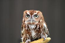 A Pygmy Owl At The Zoo.