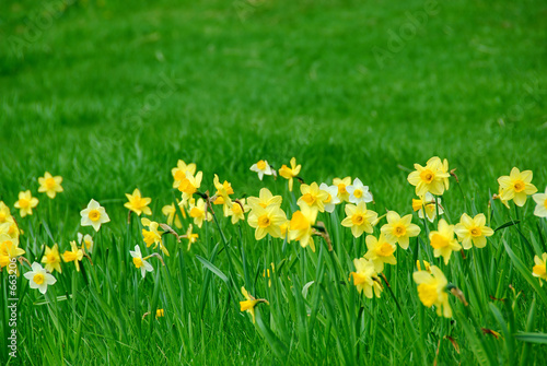 Deurstickers Narcis daffodils and grass