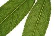 feuilles d'amandier