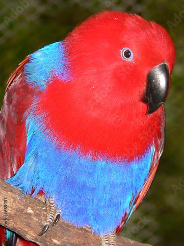 Obraz na plátně eclectus parrot