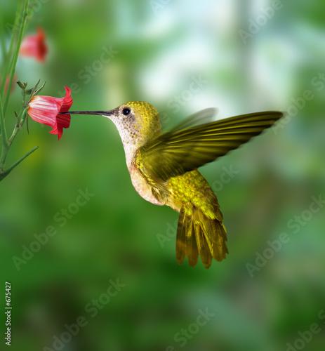 Foto-Schiebevorhang (ohne Schiene) - hummingbird (von ktsdesign)