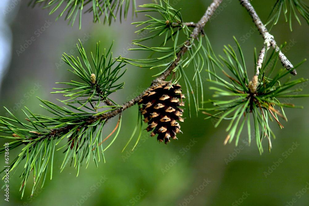Fototapety, obrazy: pine cone closeup