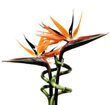 Birds Of Paradise Flowers