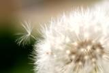 Małe nasionko dmuchawca