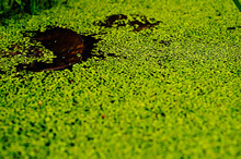Lillypad In Pond