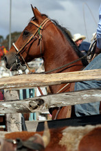 Horse At The Rodeo