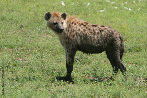 Photo sur Toile Hyène hyène se retournant